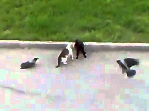Коты и  вороны.flv