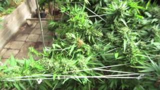 Grow Cannabis – Day 109 Harvest – by Jorge Cervantes