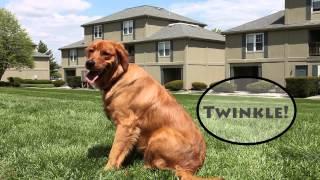 Golden Retriever - Twinkle