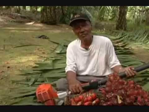 Harvesting oil palm fruit using Cantas SAWIT