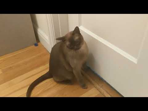 Burmese cat reacts crazy to the smell of bleach