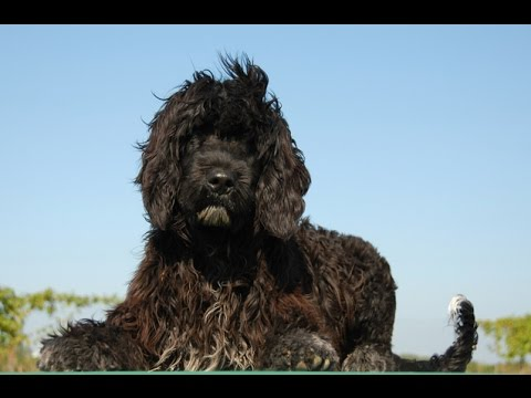 Portuguese Water Dog (Cão de Agua Português) - Dog Breed