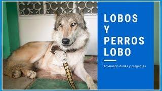 Lobos - Perros Lobos - Calupoh   Preguntas y Respuesta   Jaim Gritzewsky - Fotógrafo de Perros