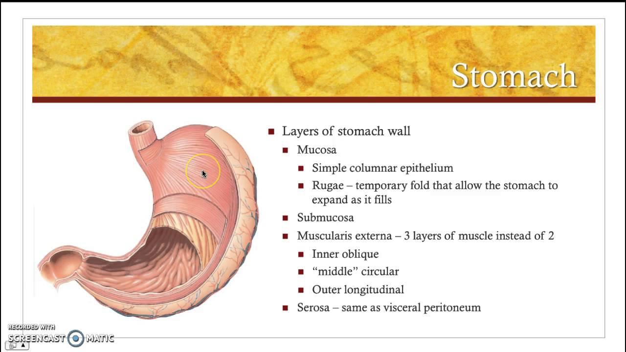Stomach Anatomy Youtube