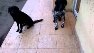 German Shorthaired Pointer Puppy Feeding
