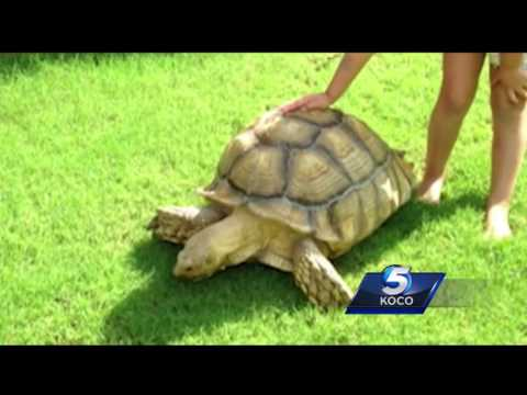 Weather could be to blame for tortoise's escape from Edmond home