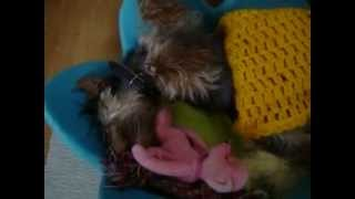 Watch my cute little 7 months old happy puppy slumber after a long ...