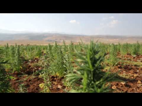 Lebanon - Cannabis Farming - Economics of Vice -- ExecutiveMedia