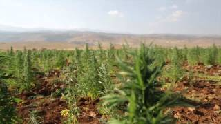 Lebanon - Cannabis Farming - Economics of Vice -- ExecutiveMedia
