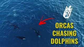 Orcas Preying On Dolphins (CAUGHT ON DRONE)