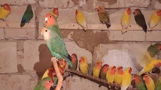 попугаи неразлучники // секреты разведения 1 часть из  3... lovebirds parrots // breeding secrets
