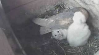 Tragedy In A Barn Owls Nest