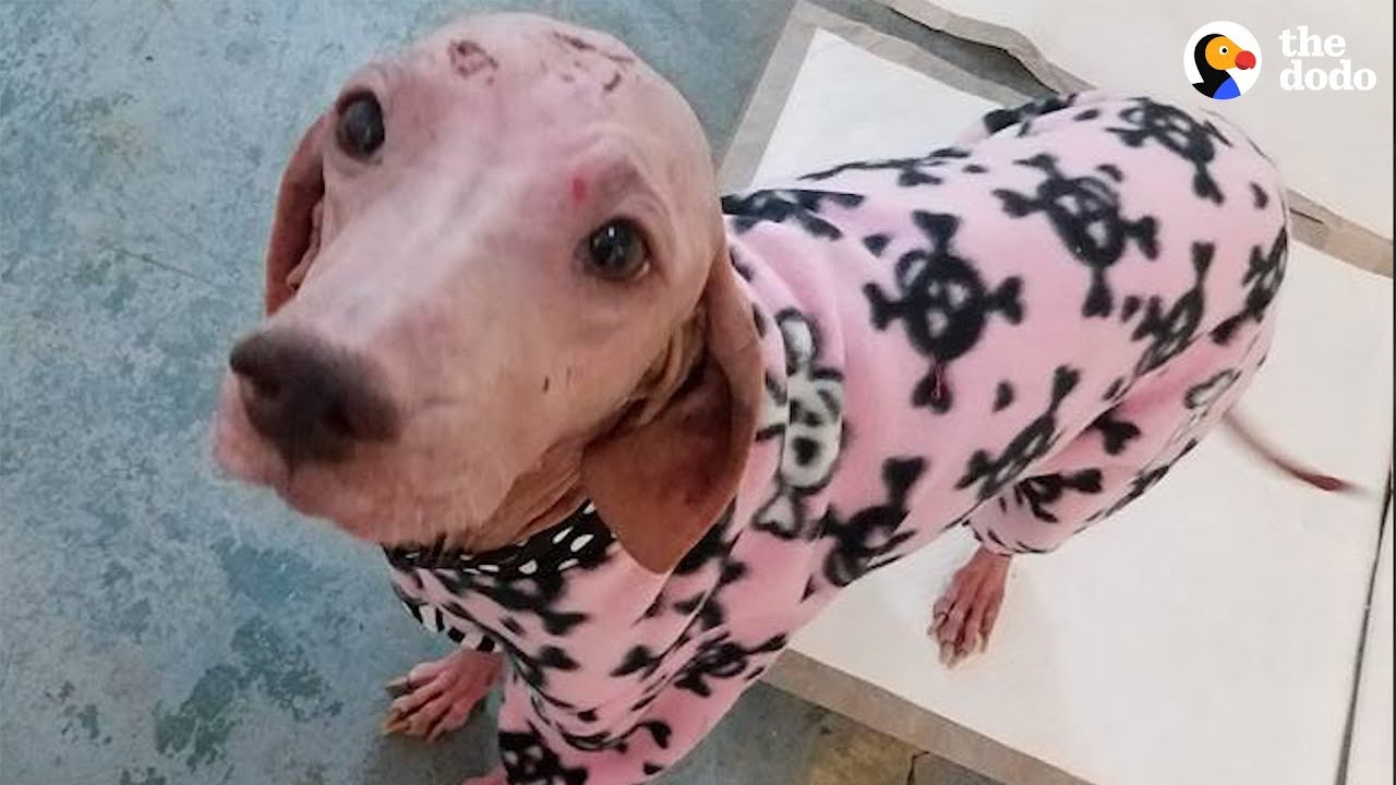 Hairless Dog Found In Desert Makes A Total Transformation | The Dodo