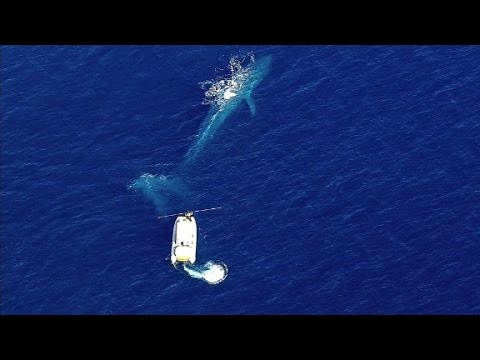 Rescue efforts underway for entangled blue whale