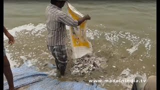 Fish Harvesting in India   Small Fish into Big Fish   Harvesting thousands of fishs