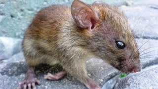 Ratazana, Rato preto, rato pardo, ataque a ser humano, Wild life, Reino animal, Animals , Wild life,