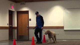 Knox (goldendoodle) Boot Camp Dog Training Minnesota