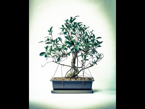 Bonsai Zrób To Sam Ficus Retuza Przesadzanie Youtube