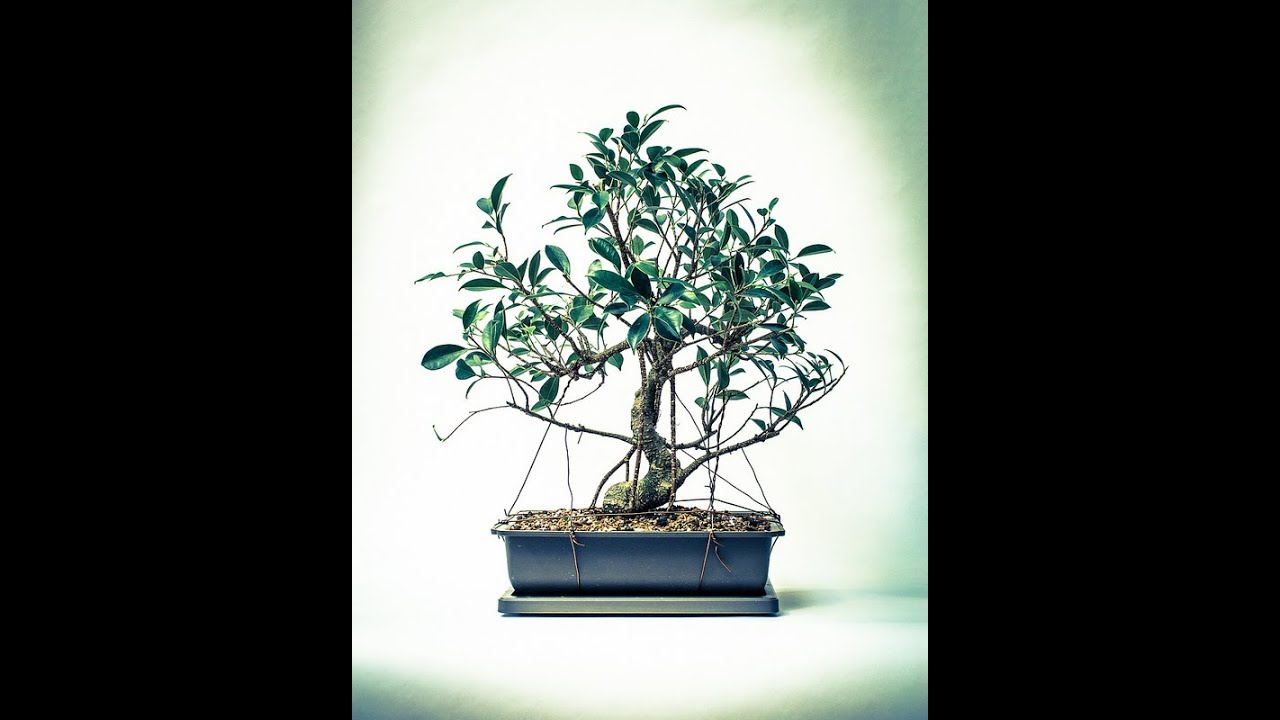 Bonsai Zrób To Sam Ficus Retuza Przesadzanie