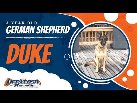 German Shepherd, Duke!  Off Leash K9 Training   Best Off Leash Dog Training Program