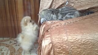Померанский шпиц и шотландская кошка(, 2015-04-23T20:07:40.000Z)
