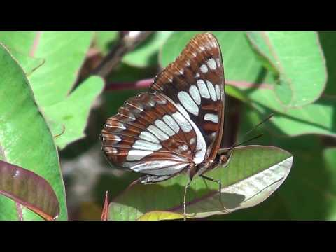 North American Wildlife --- Lorquin's Admiral butterfly (part 2-of-2)