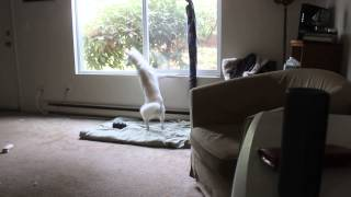 Fionna, a 11 month old Kishu Ken, hears the sounds of her friends' ...
