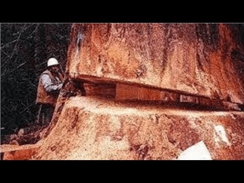 Amazing Dangerous Skills Fastest Tree Felling, Heavy Biggest Tree Cutting Down Chainsaw Machines