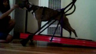 Pit Bull Manual Treadmill Training