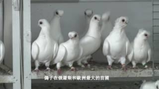 Голуби России. Московская чайка белая. Орловский турман белый.