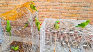 Lovely Talking Parrots Doing Funny Things