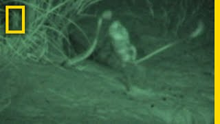Watch a Kangaroo Rat Jump Kick a Snake to Escape | National Geographic