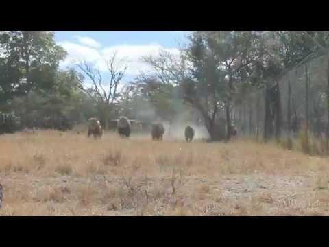 Lionfeeding in Antelope Park, Zimbabwe
