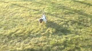 Bruce Basset Hound - Tracking Training Distraction
