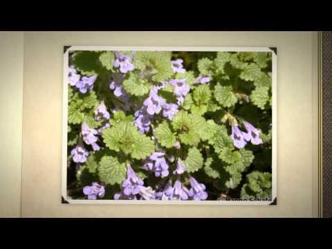 Будра и ее полезные свойства -Растения -Б -Статьи