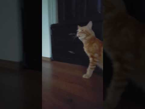 Funny sneezing maine coon cat