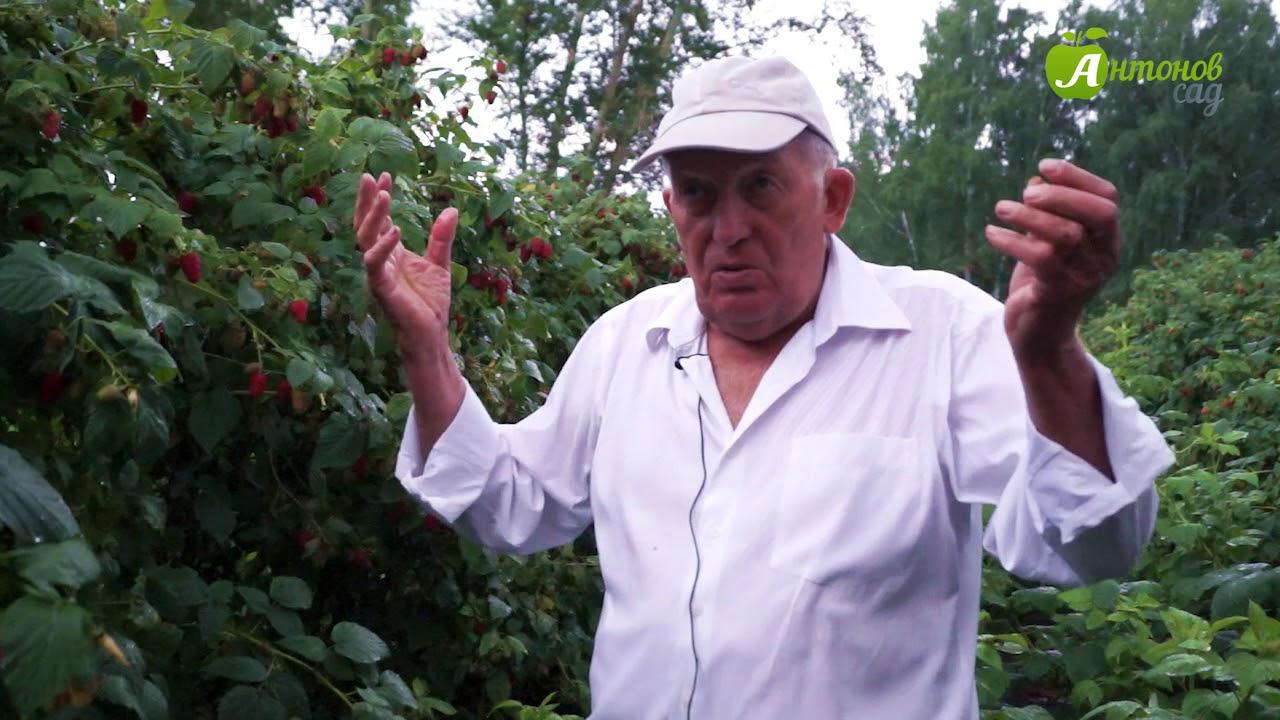 Малина: выращивание и уход - YouTube
