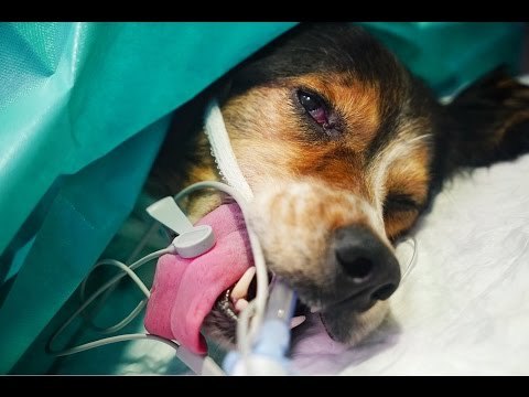 Dog that crawled over rocks and stones with two open fractures WAS OPERATED TODAY
