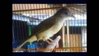 Suara Asli Burung Kapas Tembak Mantab Untuk Isian Murai (Audio mp3 Masteran Burung)