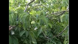 Грецкий орех в Сибири(Грецкий Орех у нас не зимует, вымерзает. Приходится все это огромное дерево пригибать, хотя ствол большой..., 2015-11-19T05:25:57.000Z)