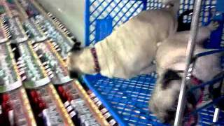 Pugs At Petsmart