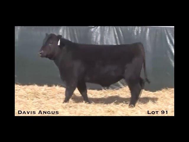 Davis Angus Lot 91