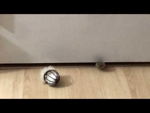 Milla's Kats American Shorthair Kittens