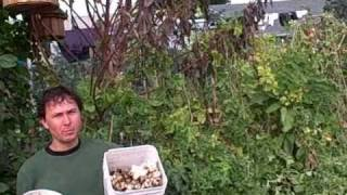 Harvesting 25 Pounds Of Jerusalem Artichokes From 2 Plants