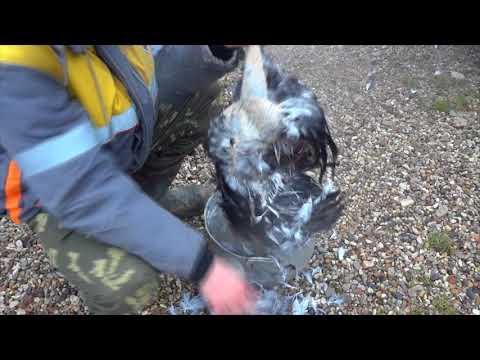 Как ощипать курицу-петуха