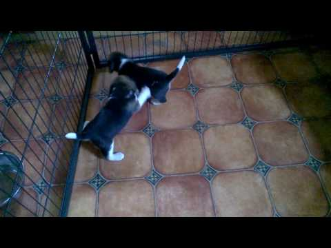 "Beagle puppy miot / litter ""I"""