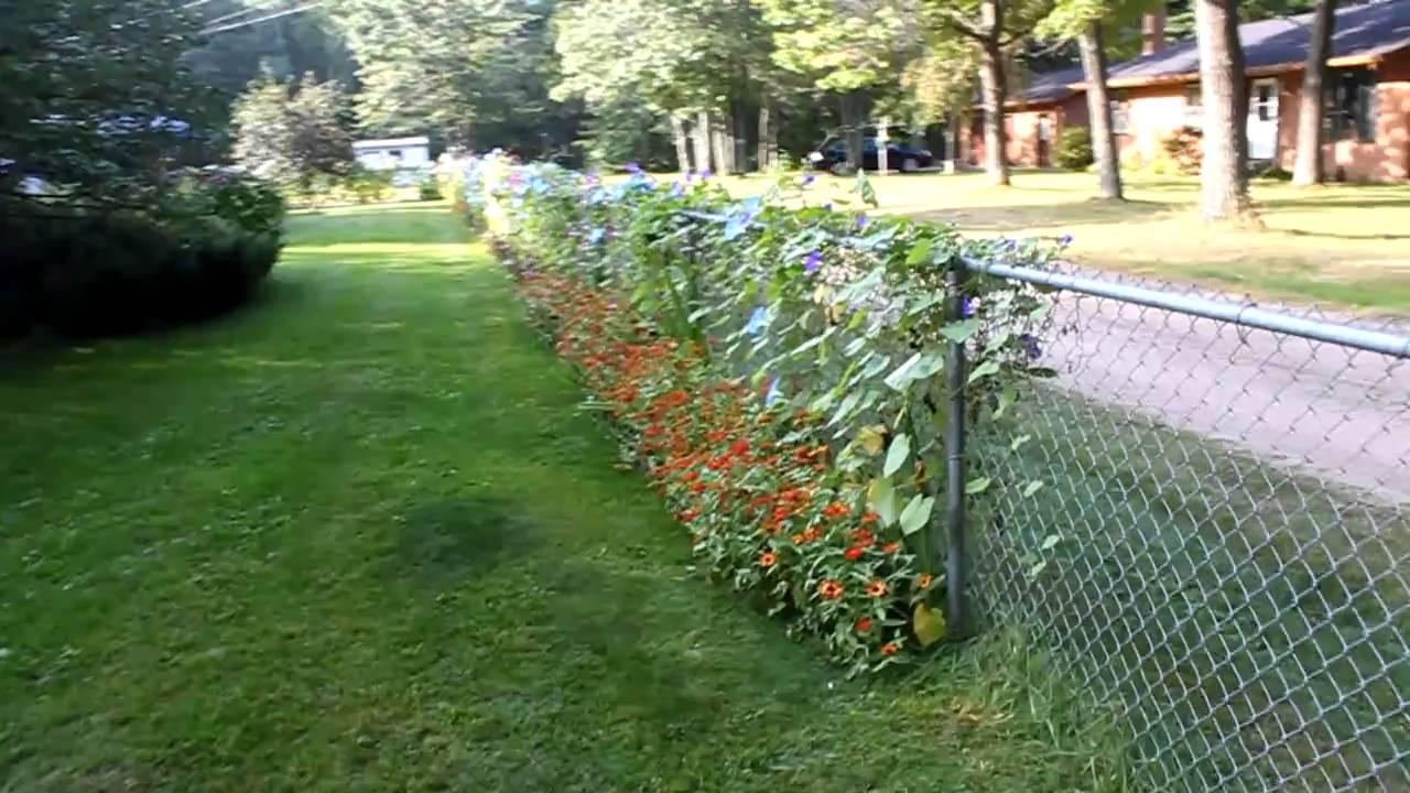 Morning Glory Flowers Minnesota Youtube