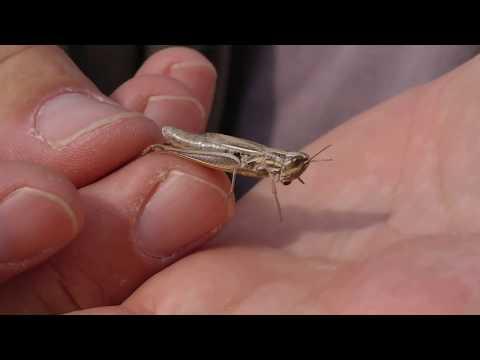 Sauterelle, grillons et criquets : le chant des prairies