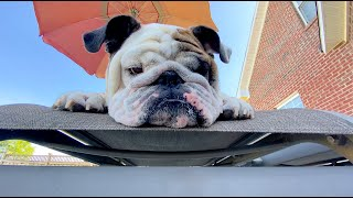 Reuben the Bulldog: Everyday Moments
