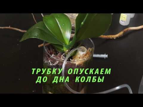 Фото орхидей: фаленопсис -